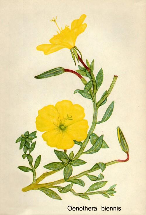 evening-primrose-botanical