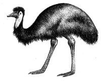 Emu Oil - Amazing Healing Oil from the Australian Native Emu